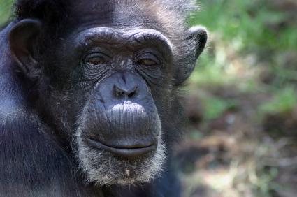 Chimp in jungle looking at camera