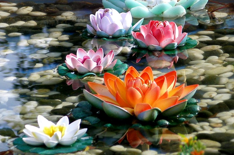 Lotus flowers blooming