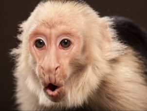 The first attempt at head transplant surgery involved monkeys.