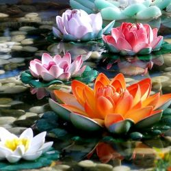 Power and Transcendence: The Lotus Flower